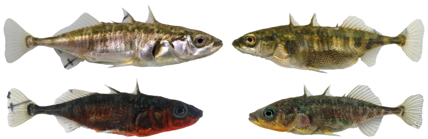lakeconstancestickleback_copyright_eawag_davidmarques
